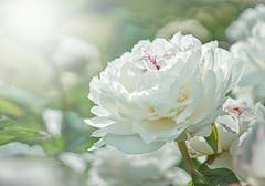 Subdued white peony blossoms against a soft, faded source of light