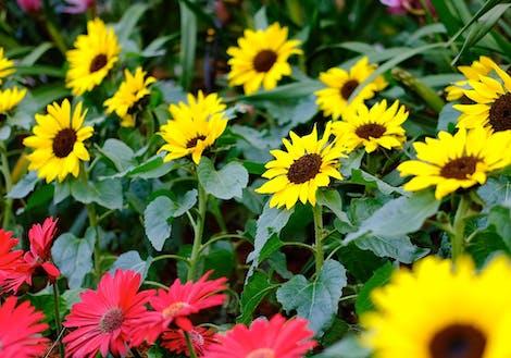 Dwarf Sunflower