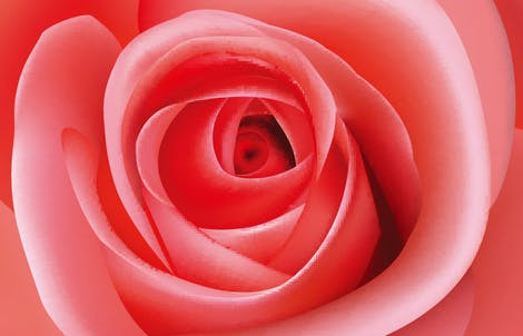 Close-up photograph of a rose representing thankfulness